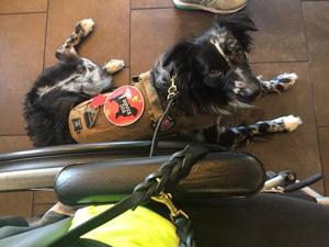 Service Dog Apollo, Australian Shepherd
