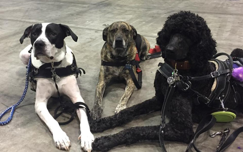 Service Dog Cow, Pointer/American Bulldog Mix Service Dog Luke, Plott Hound/Lab Mix Service Dog Watson, Standard Poodle