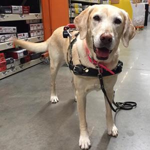 Service Dog Daphne, Yellow Labrador