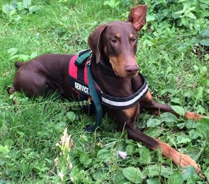 Service Dog Evan, Doberman