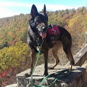 Service Dog Shanti, German Shepherd Dog