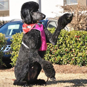 Service Dog Watson, Standard Poodle