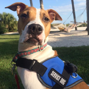 Service Dog Willow, Bully Mix