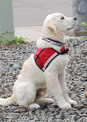 Cam'O in profile at five months of age, shows off this new, more mature look of a very handsome future service dog.