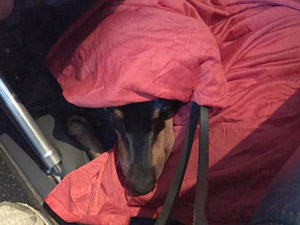 Kaline sleeps on the airplane, wrapped in a red Delta blankie with only his long nose showing.