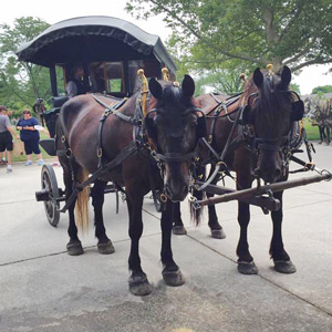 Amos and Edsel, two dark Percherons pulling an old-fashioned omnibus in Greenfield Village, stop to stare interestedly at Kaline.