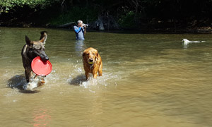 Dogs playing in the river