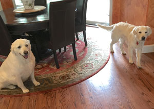 Cam'O (right) visiting his cousin, fellow white golden retriever, in Reno.
