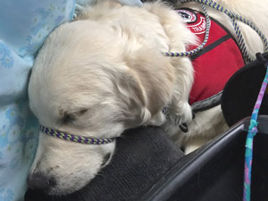 It's been a long day. Cam'O falls asleep quickly in the car after a very busy day in the heat of summer in Colorado.