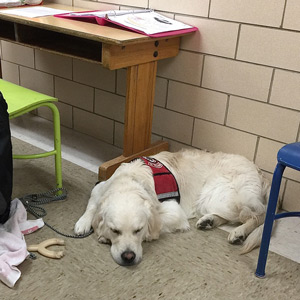 Cam'O, in his Paw pals jacket, is fast asleep next to the school desk where students come to read their sight words to me. This is our once a week routine back at Belmont School where Cam'O spent his days as a new puppy.