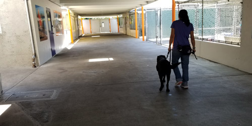 Arturo being walked to his kennel at the school