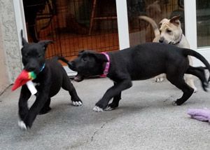 Penny, Bernard, and Bianca: service dogs in training at play