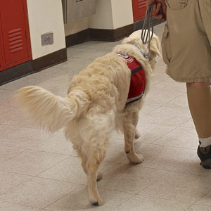 In the high school halls, Cam'O on his last visit as a puppy in training.