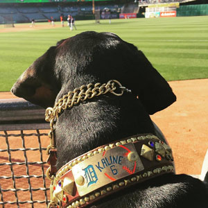 Kaline in his brown and brass Ella's Lead custom collar, with a brass Aggie's Anvil nameplate. The nameplate says -Kaline- above the number 6 and has an orange baseball and blue Olde English D (Tigers logo) on it.