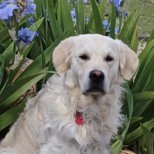 Cam'O sits in front of blue iris flowers.
