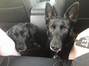Service dogs Gabrielle and Kash