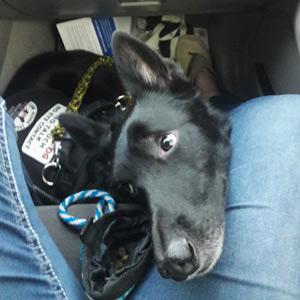 Service dog Kash